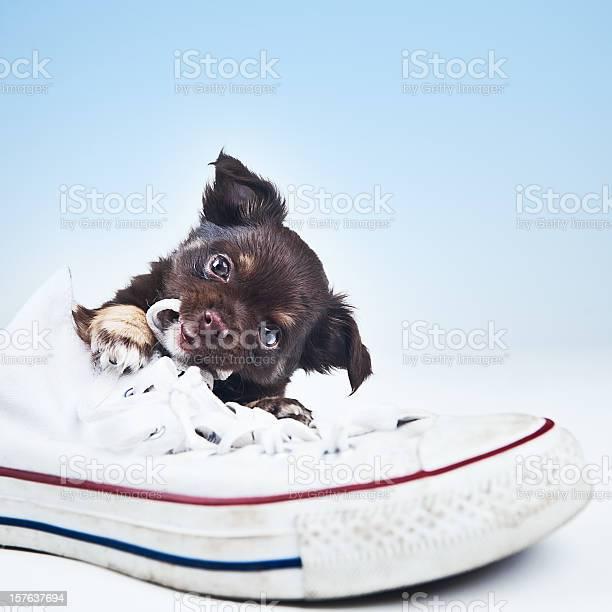 Cute chihuahua puppy picture id157637694?b=1&k=6&m=157637694&s=612x612&h=hs7xpniwhj04je8fiibzth4fn6uail fyjgkp3vraem=