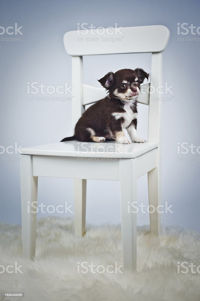 Cute Chihuahua puppy sitting on a chair stock photo