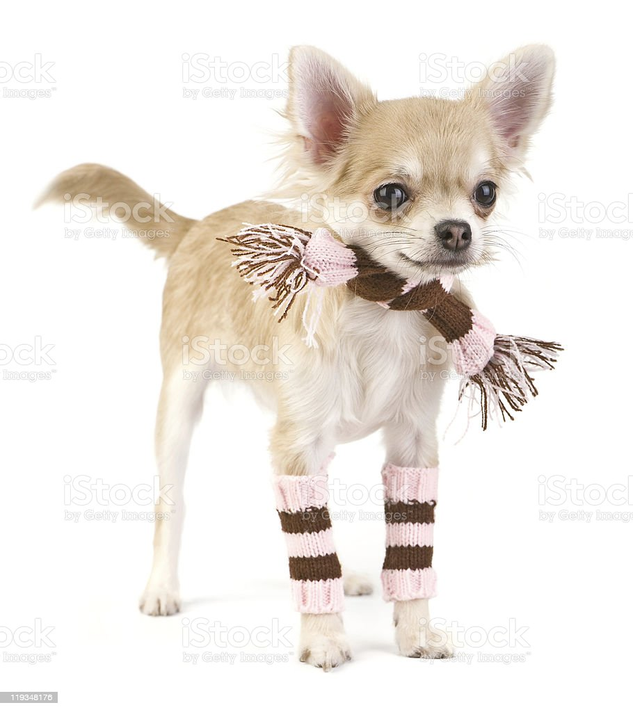 Cute chihuahua puppy with striped socks and scarf royalty-free stock photo