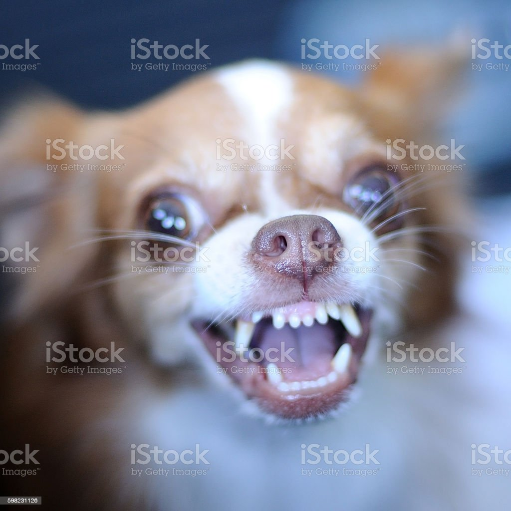 Cute chihuahua showing fang tooth, nose focused foto royalty-free