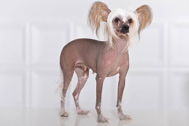 cute chinese crested dog - chinesische schopfhunde stock-fotos und bilder