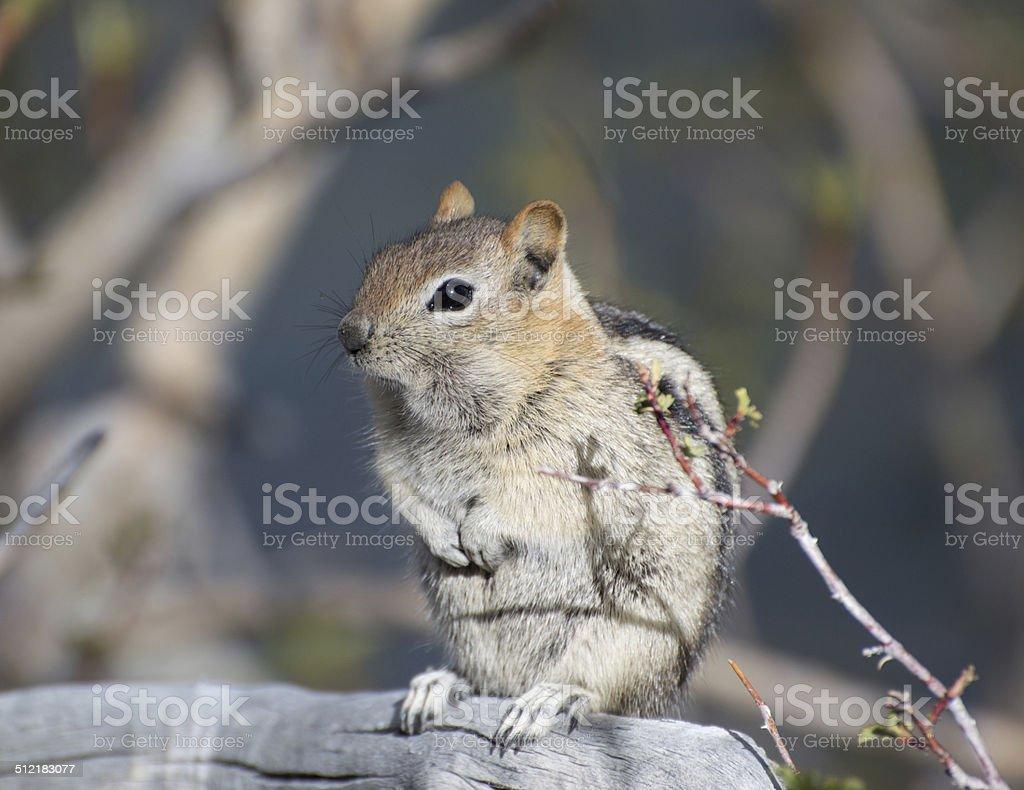 Cute Chipmunk stock photo