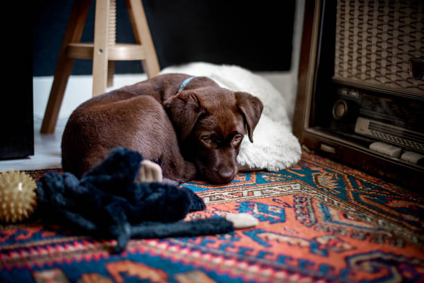 Cute chocolate labrador puppy laying on persian rug stock photo