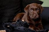 Cute labrador puppy, 7 weeks old