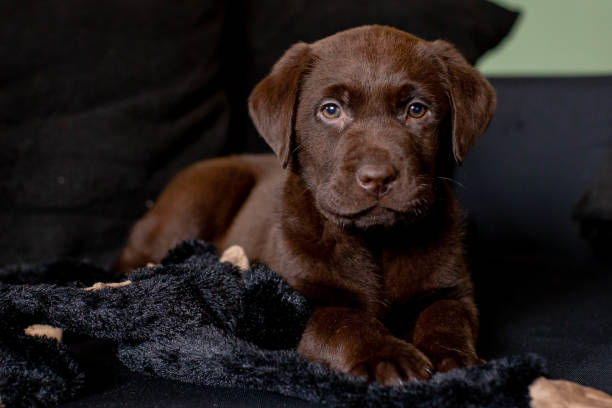 Cute chocolate labrador puppy laying on sofa stock photo