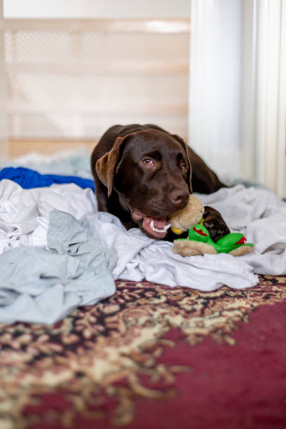 Cute chocolate labrador puppy playing on laundry stock photo