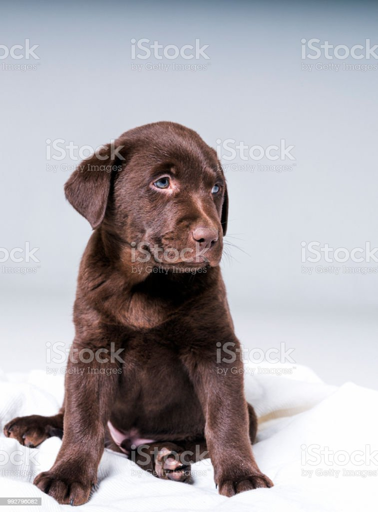 Niedlichen Chocolate Labrador Welpen Sitzen Auf Decke Stockfoto