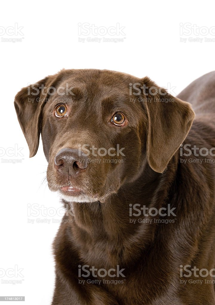 Cute Chocolate Labrador Retriever Dog Close-up royalty-free stock photo