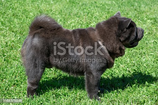 Cute chow chow is standing on a green meadow. Pet animals. Purebred dog.