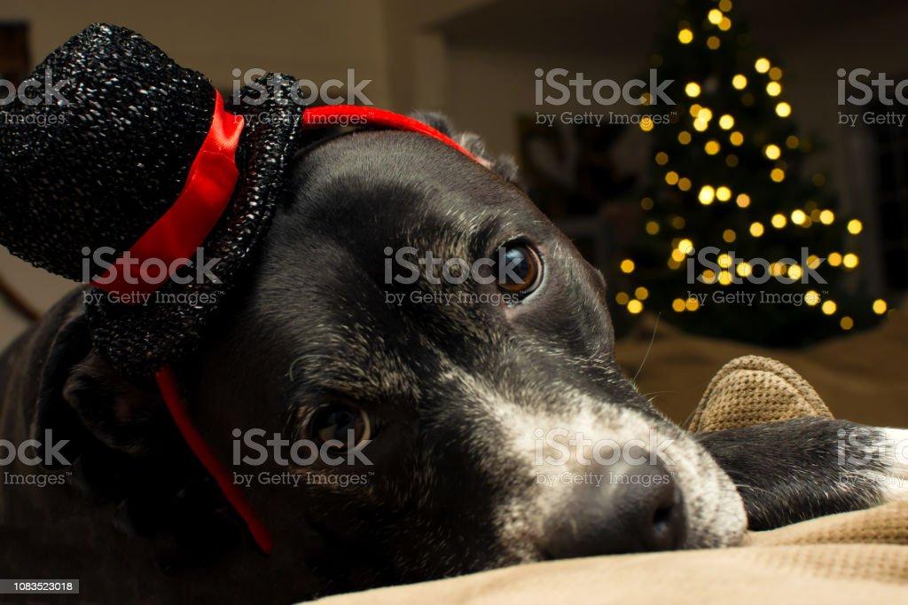 Cute Christmas dog bear illuminated Christmas  tree at home stock photo