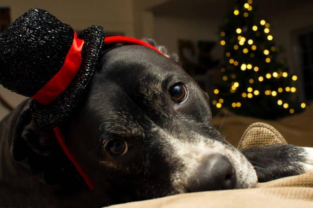 süße weihnachten hund bär beleuchtete weihnachtsbaum zu hause - silvester mit hund stock-fotos und bilder