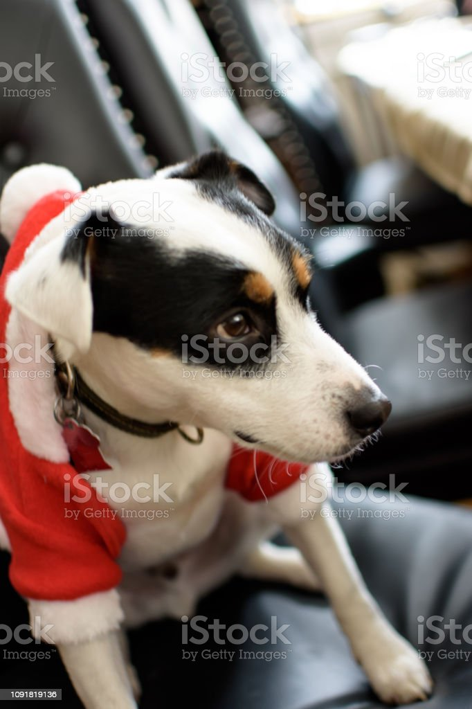 Cute Christmas dog wearing holiday Santa suit sitting in chairs stock photo