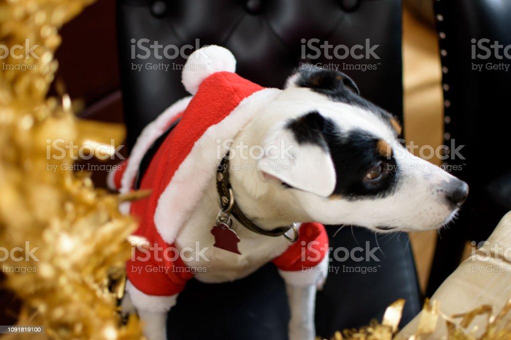 Cute Christmas Dog Wearing Santa Sweater stock photo