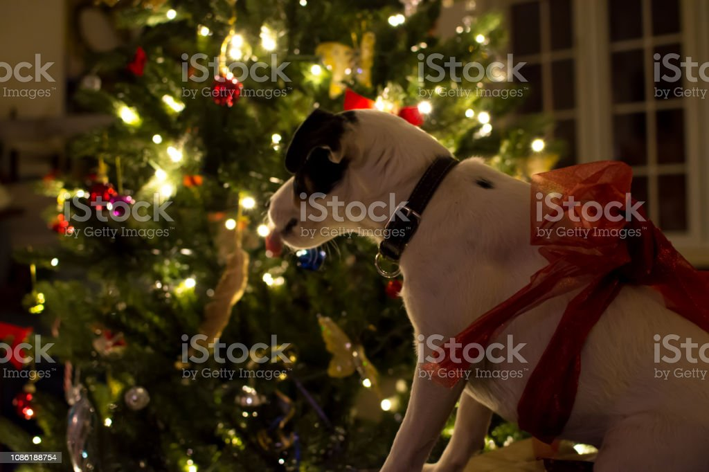Cute Christmas dog with tongue out wearing red bow next to illuminated Christmas  tree stock photo