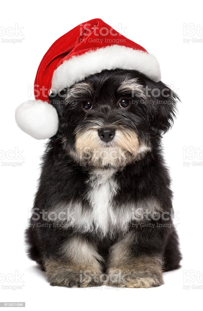 Cute Christmas Havanese puppy dog in a Santa hat stock photo