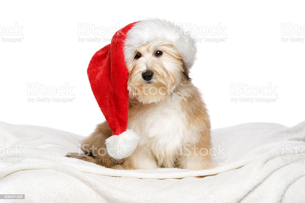 Cute Christmas Havanese puppy on a white bedspread stock photo