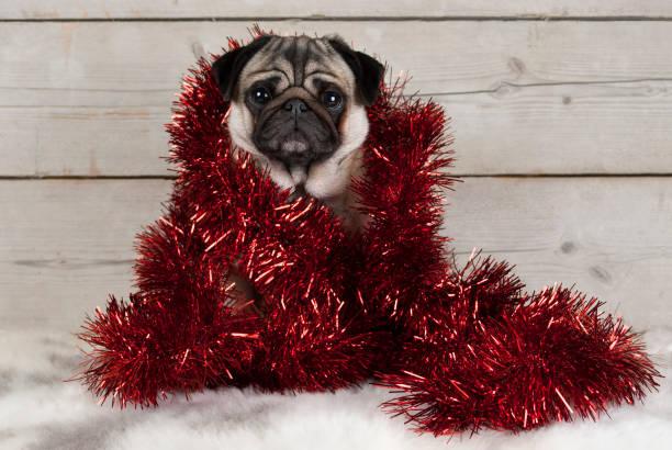 Mops Bilder Weihnachten.Mops Weihnachten Bilder Und Stockfotos Istock