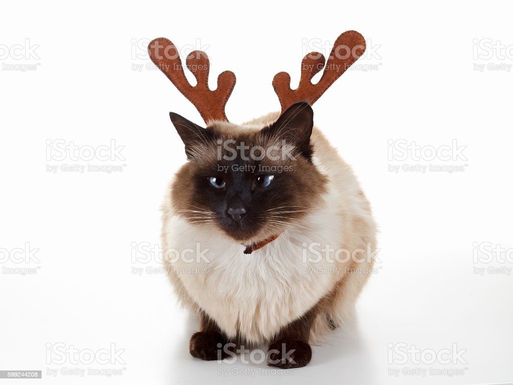 Cute Christmas reindeer pet cat. Humorous concept. Isolated on white stock photo