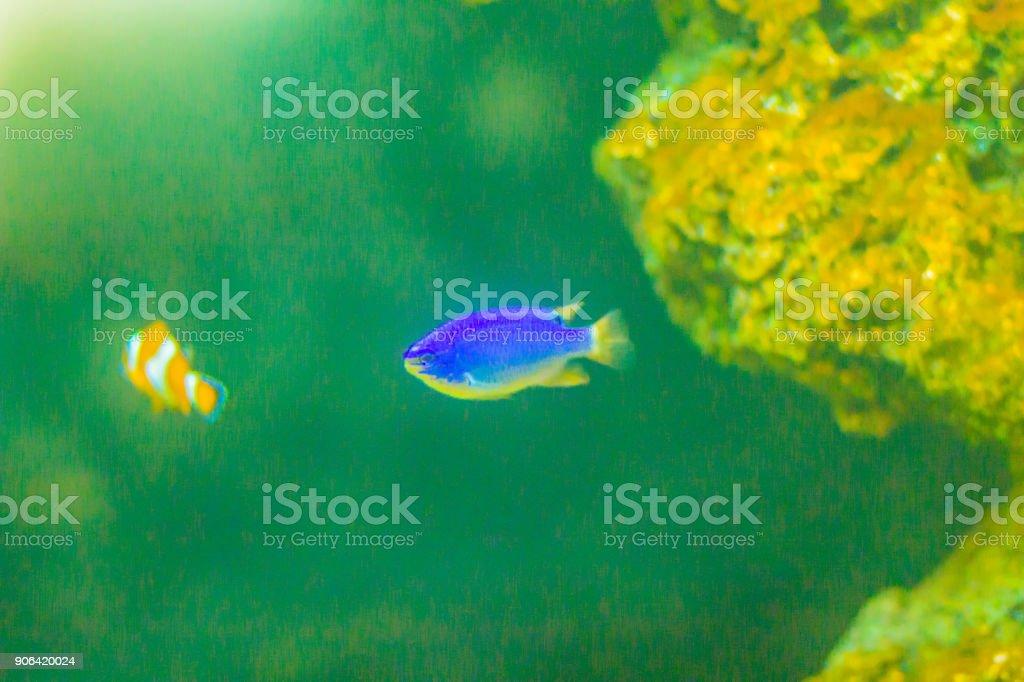 Cute Chrysiptera cyanea fish, also known as blue damselfish, blue demoiselle, blue devil, cornflower sergeant-major, Hedley's damselfish, red tail Australian damsel, sapphire devil, sky-blue damsel. stock photo