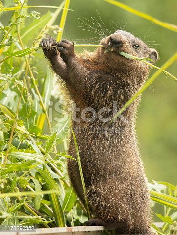 Cute chubby groundhog eating his greens. Groudhogs are also known as gophers, marmots, prairie dogs, woodchucks, and whistle pigs.