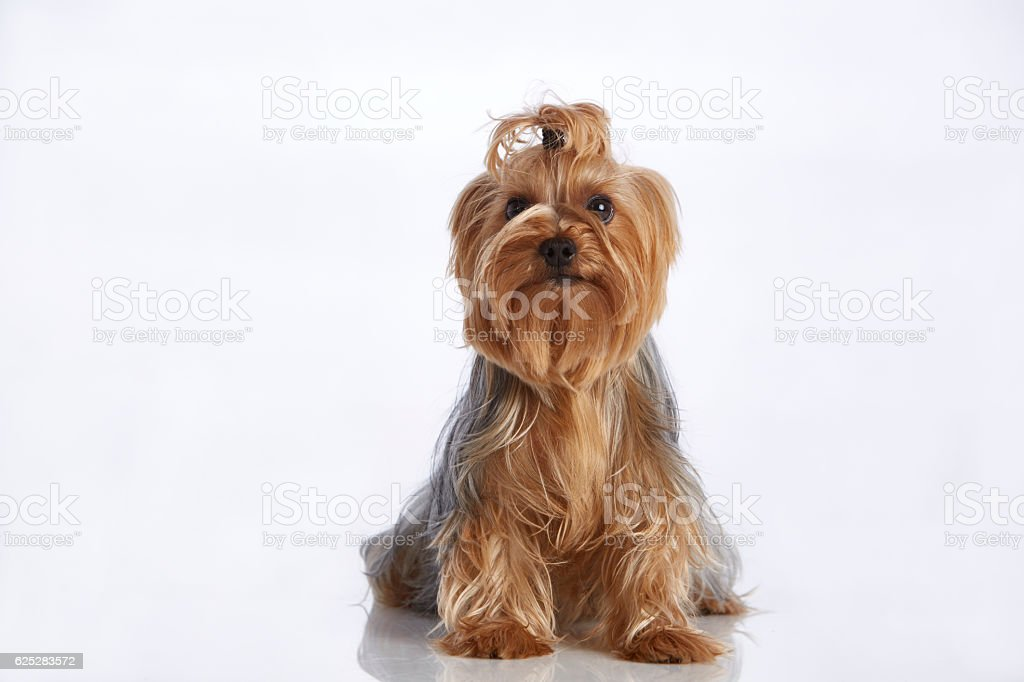 Cute Cinnamon Yorkshire Terrier (Purebred Dog) With Hair Bun - foto de stock