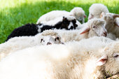 Cute clean fluffy lambs lie in the meadow and relax in the summer. Flock of sheep lying in a green meadow