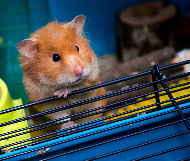 Cute Climbing Brown Syrian Hamster stock photo