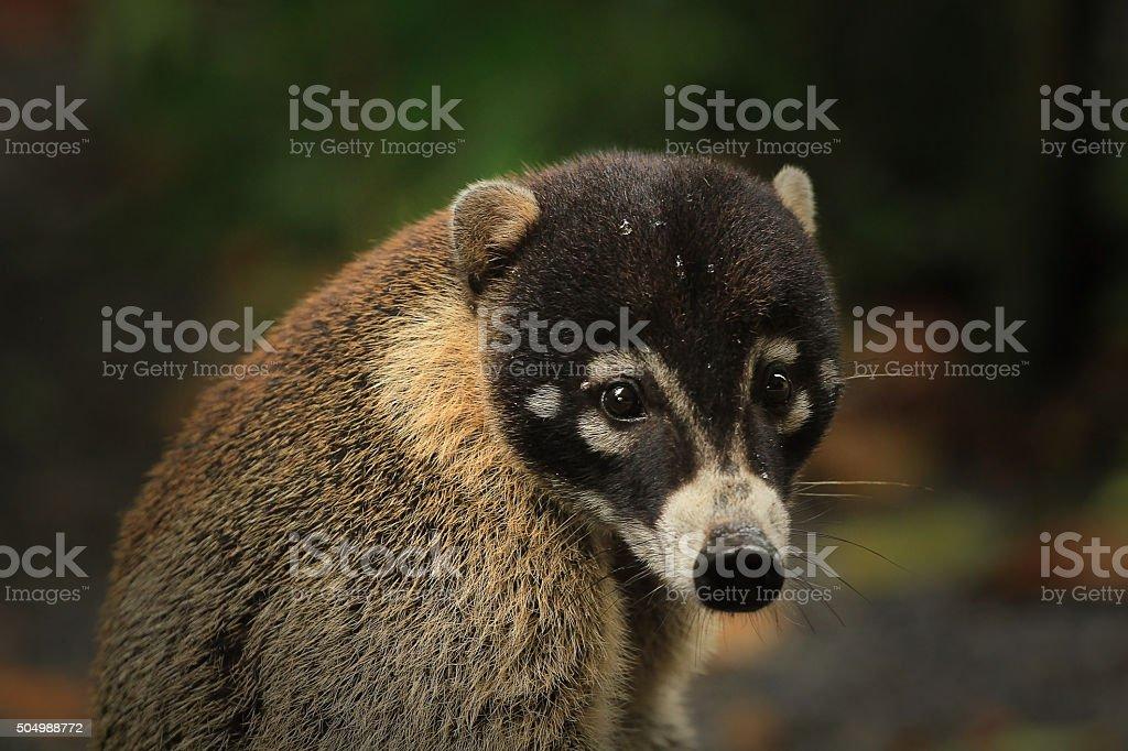 Cute coati stock photo