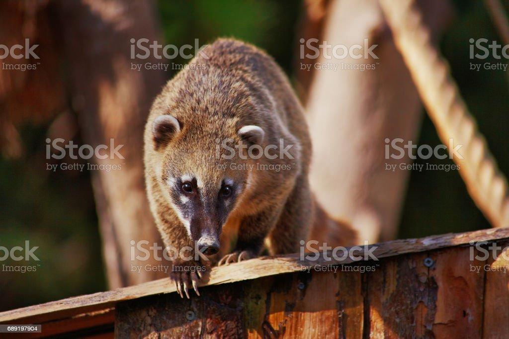 Cute coati wild animal closeup stock photo