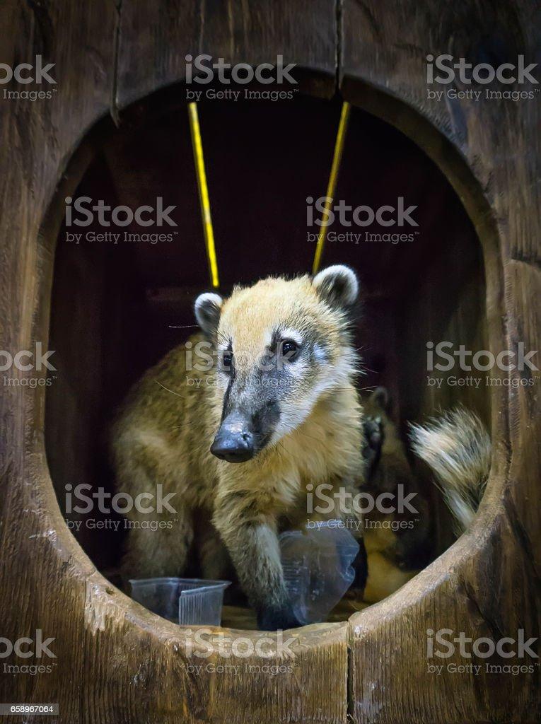 Cute coati, wild animal looking like raccoon, couple of cute animals royalty-free stock photo