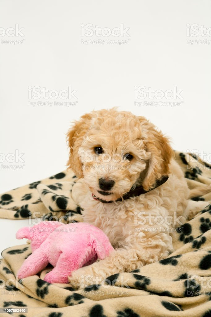 A Cute Cockapoo Puppy Lies On Her Blanket With A Toy Stock Photo Download Image Now Istock