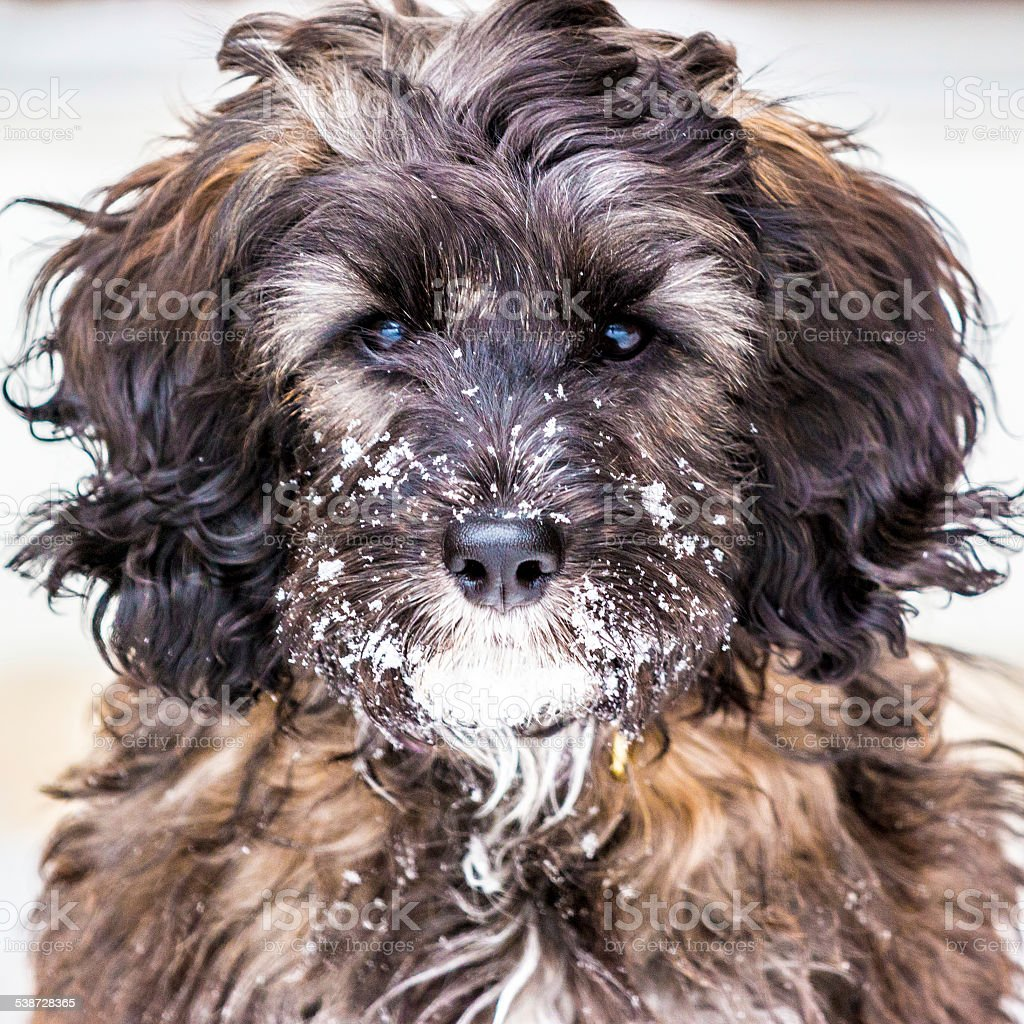 Cute CockaPoo Puppy with a Snowy Face stock photo