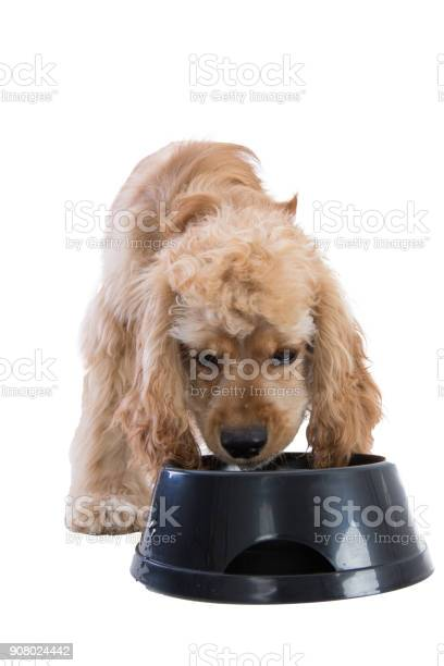 Cute cocker spaniel eating dog food from a bowl picture id908024442?b=1&k=6&m=908024442&s=612x612&h=nnzamvgfje8uqlqbisgwtfm2llhvt7qzkbpffpfqaru=