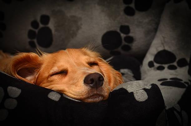 Cute cocker spaniel pup fast asleep in her bed picture id518589628?b=1&k=6&m=518589628&s=612x612&w=0&h=dtw o29zcnkhicdgiiynmb8h5cyqizdy qqwbnwe  w=