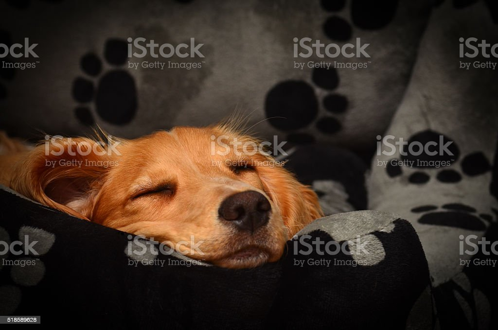 Cute cocker spaniel pup fast asleep in her bed. stock photo
