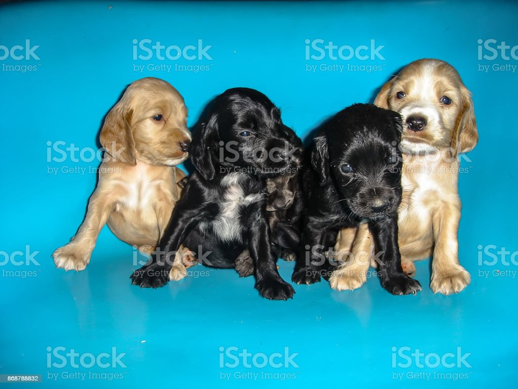 Cute Cocker Spaniel Puppies Stock Photo Download Image Now Istock
