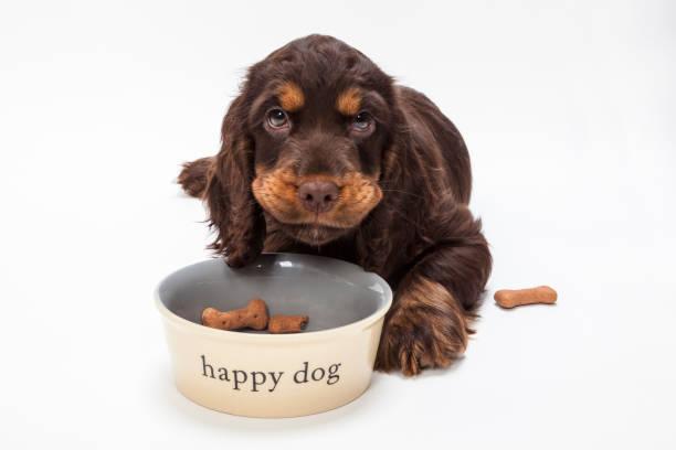 Lindo Cocker Spaniel perrito perrito mirando hacia arriba de comer galletas en forma de hueso en happy Dog tazón - foto de stock