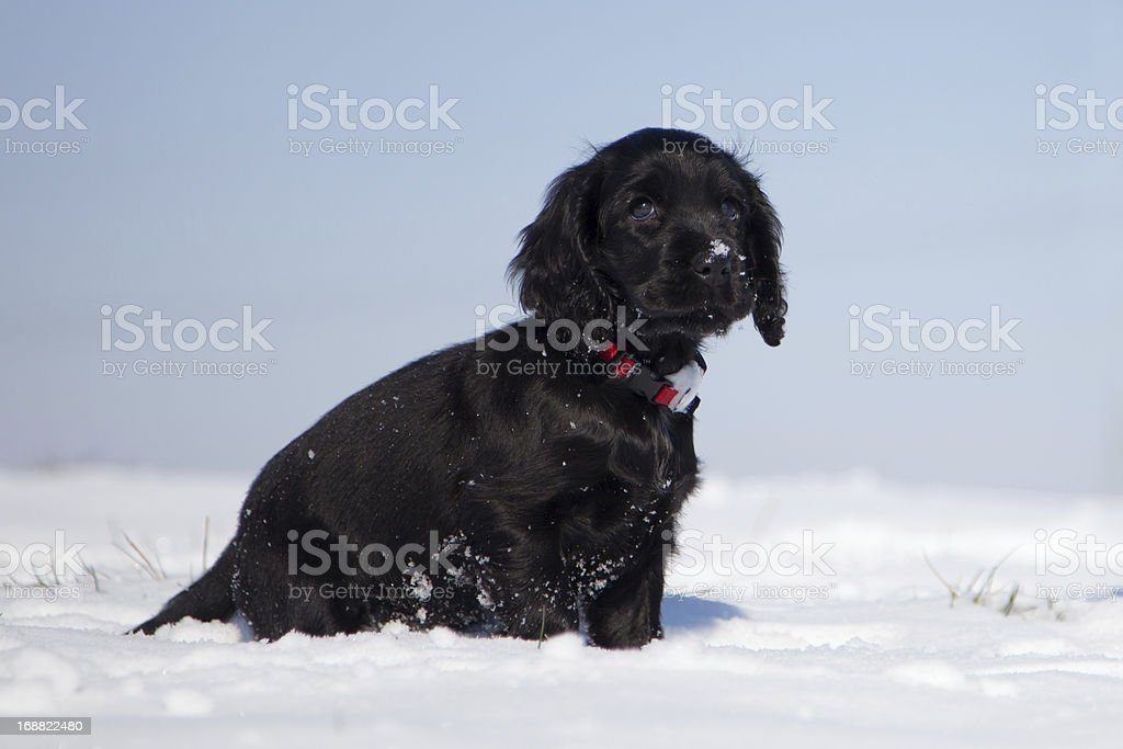 Cute Cocker Spaniel Puppy Stock Photo Download Image Now Istock