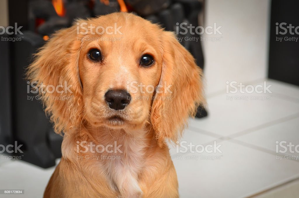 Cute Cocker Spaniel Puppy Sitting By The Fire Stock Photo Download Image Now Istock