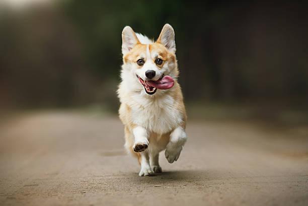 cute corgi dog - welsh corgi pembroke stock-fotos und bilder