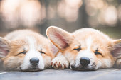 istock cute corgi dog puppies lying, relaxing and sleeping in summer sunny day, retro color style 1165894814
