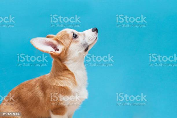Cute corgi puppy on the blue background picture id1214509966?b=1&k=6&m=1214509966&s=612x612&h=6vyithax3cajxahqowo  ej5jhcazcemzkhqbqstriy=