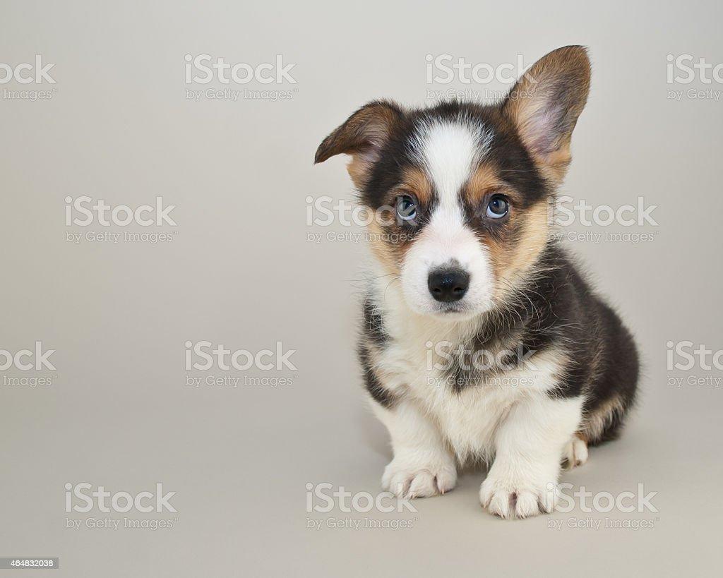 Cute Corgi puppy stock photo