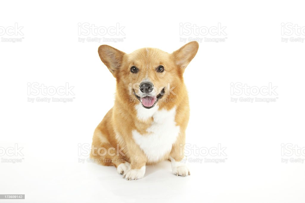Cute Corgi - Sitting stock photo