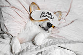 istock Cute Corgi Sleeps On The Bed With Eye Mask. Live with schedule, time to wake up. 1185231900