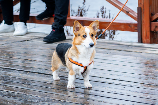 Cute Corgi walking with the owner in the park