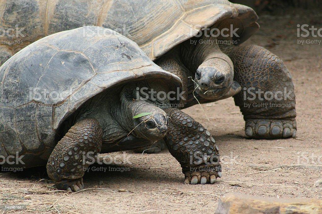 Cute Couple Of Tortoises royalty-free stock photo