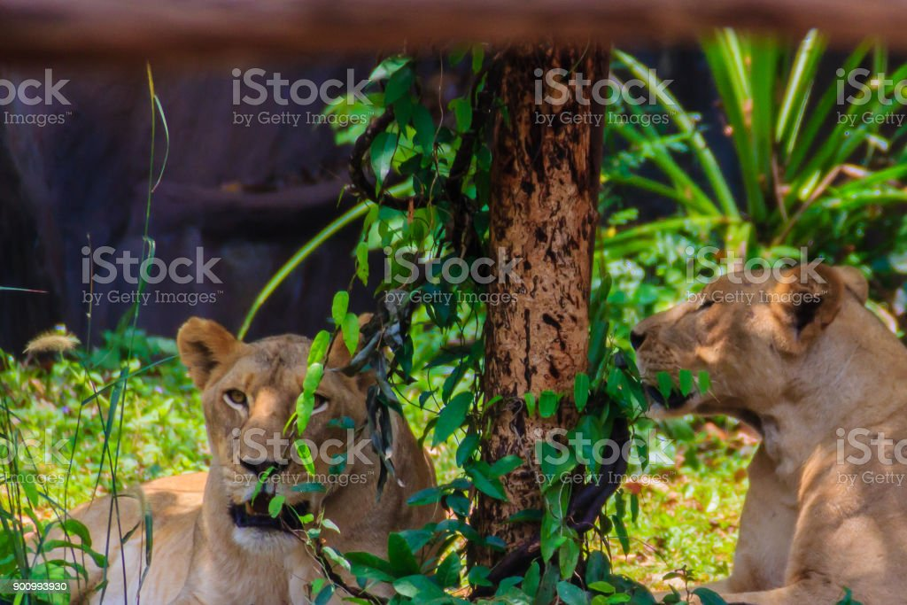 Cute couple of white lions stock photo