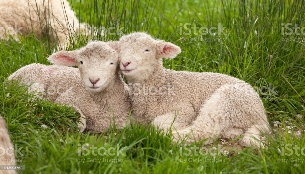 Cute cuddly fuzzy baby animals Spring lambs sheep siblings snuggling...