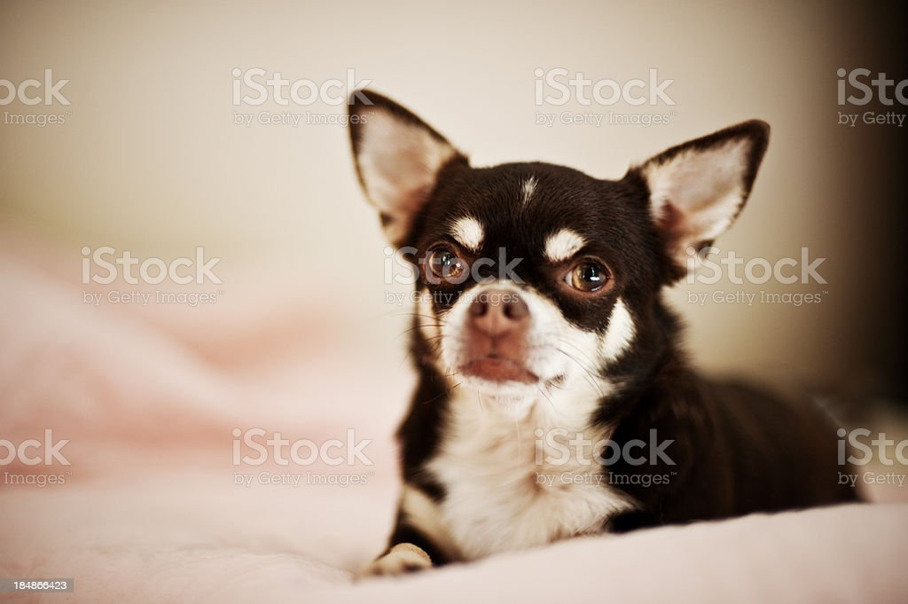 Cute Curious Chihuahua royalty-free stock photo